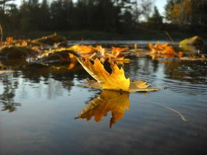 floating leaf on mountain river